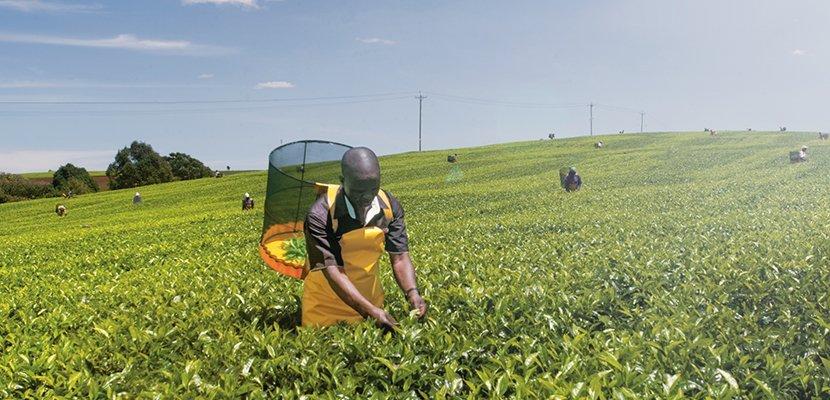 Sir Thomas Lipton Decaffeinated 2g x 25 - From the world's finest tea regions