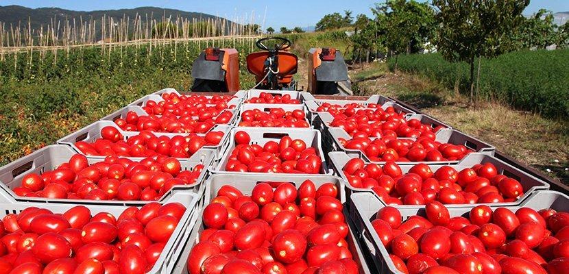 """רוטב נפוליטנה קנור 5 ק""""ג - מיוצר מעגבניות איטלקיות וירקות טריים"""