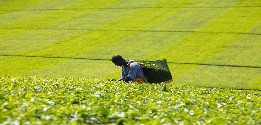 立頓精選紅茶商用包 - 100%天然紅茶  100%雨林認證